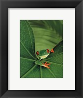 Framed Tree Frog