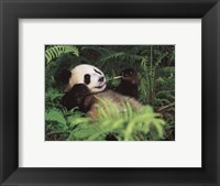 Framed Giant Panda