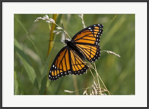 """Orange And Black Butterfly In Greenery"" by Gordon Semmens? It's a Monarch!"