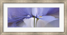 Framed Iris #20