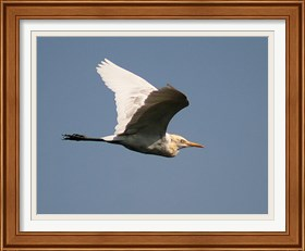 Framed Cattle Egret