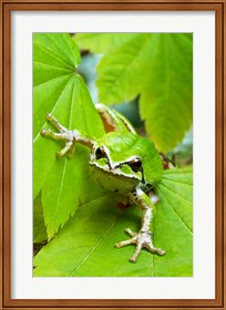 Framed Close-up of a Green Tree Frog on a leaf