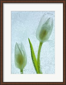 Framed Tulipanes Blancos 33