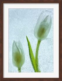 Framed Tulipanes Blancos 33