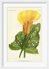 Framed Yellow Canna Lily