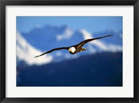 Framed Soaring Eagle Over Blue Mountains