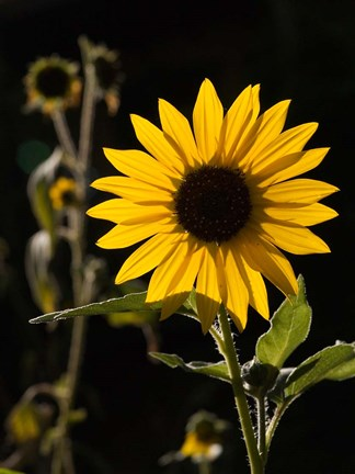 Framed Backlit Sunflower, Santa Fe, New Mexico Print