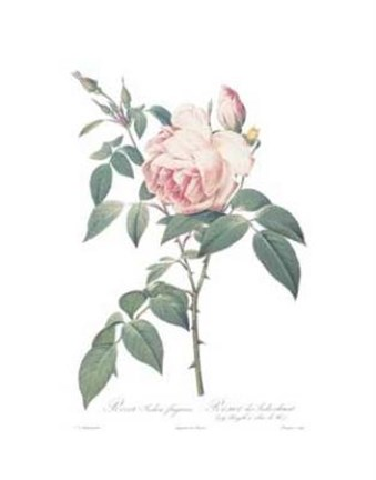 Framed Rosa Indica Fragrans Print