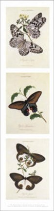 Framed American museum of natural history - Butterflies l Print