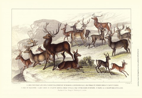 Framed Deer Varieties Print