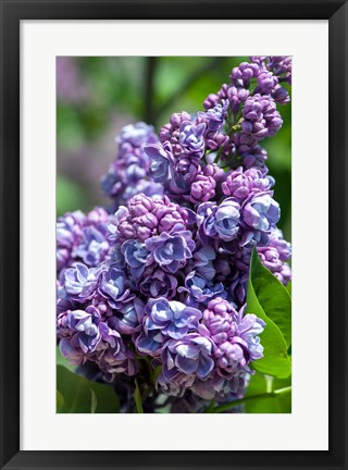 Framed Purple Lilac Tree, Arnold Arboretum, Boston Print