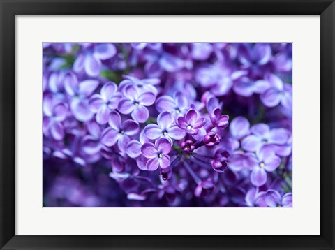 Framed Close-Up Of A Purple Lilac Tree, Arnold Arboretum, Boston Print