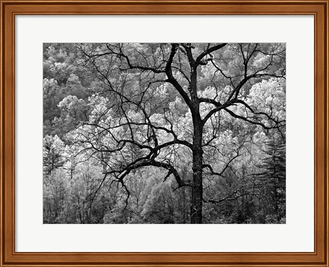 Framed Tree Caught In Dawn's Early Light, North Carolina (BW) Print