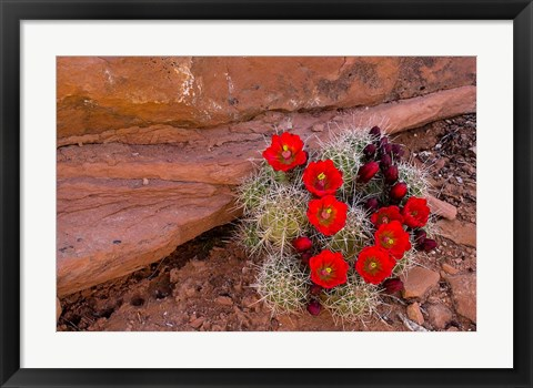 Framed Red Flowers Of A Claret Cup Cactus In Bloom Print
