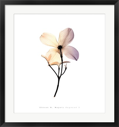 Framed Dogwood 2 Print