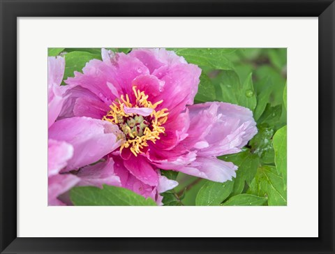 Framed Pink Mountain Peony Print