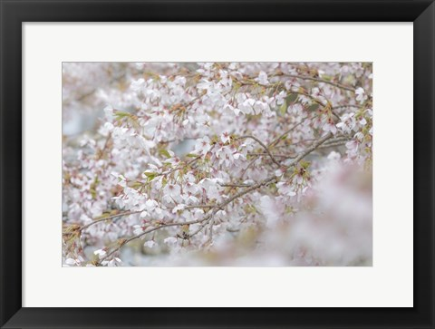 Framed Cherry Tree Blossoms, Seabeck, Washington State Print