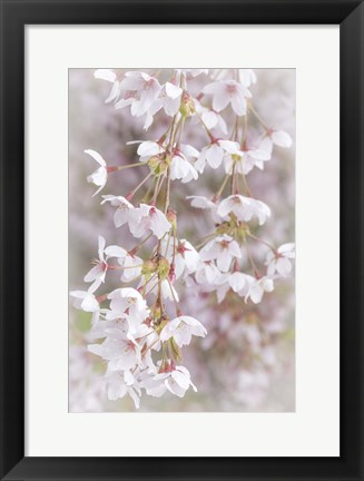 Framed Cherry Tree Blossoms Close-Up, Seabeck, Washington State Print