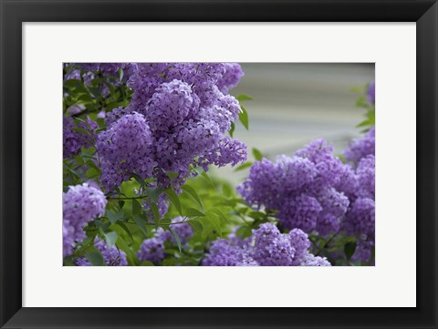Framed Lilacs In Bloom, Salzburg, Austria Print
