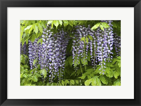 Framed Wisteria In Bloom, Salzburg, Austria Print