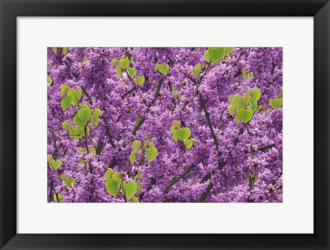 Framed Oregon Blossoms And New Growth On Redbud Tree In Multnomah County Print