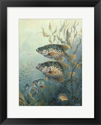 Framed Black Crappies Print