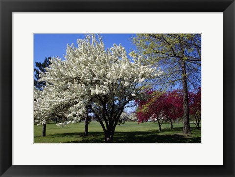 Framed Pin Cherry Tree Blooming, New York Print