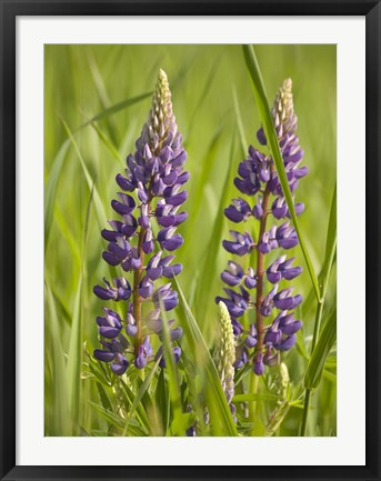 Framed Lupine Near Silver Bay, Northeastern Minnesota 2 Print