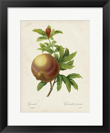Framed Redoute's Fruit III Print