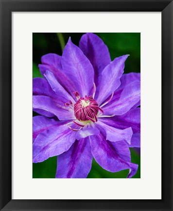Framed Close-Up Of A Clematis Blossom 2 Print