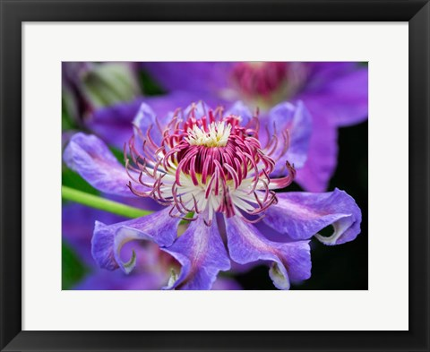 Framed Close-Up Of A Clematis Blossom Print