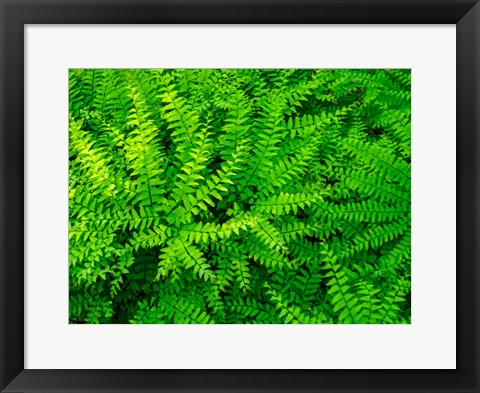 Framed Maidenhair Fern Print