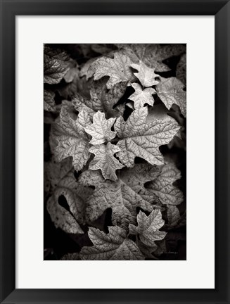 Framed Hydrangea Leaves in Black and White Print