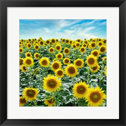 Framed Cortona Sunflowers #2 Print