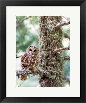Framed Mexican Spotted Owl Print