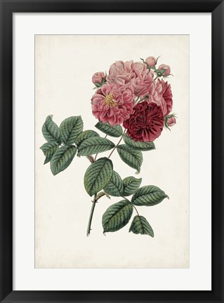 Framed Vintage Rose Clippings III Print