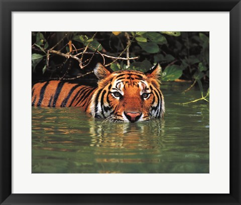 Framed Tiger - water Print
