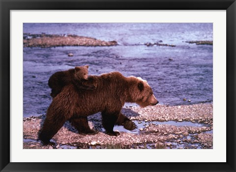Framed Brown Bear Carrying Cub, Alaska Print