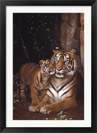 Framed Tiger With Cub Print
