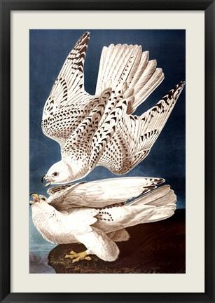 Framed Iceland or Ier Falcon Print