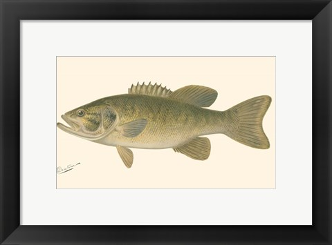 Framed Small-mouthed Black Bass Print
