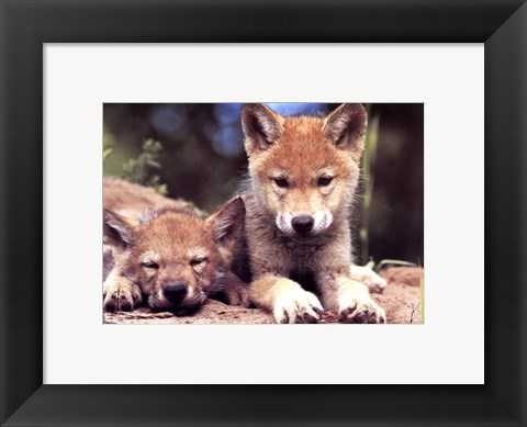 Framed Spring Wolf Pups Print