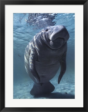 Framed West indian Manatee Print