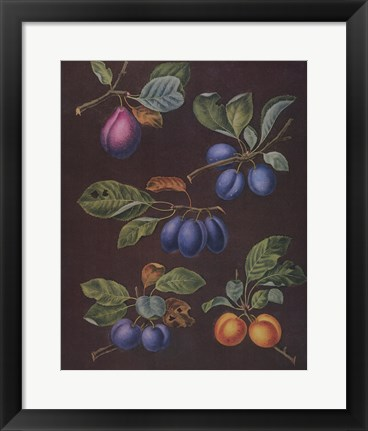 Framed Plums (A) Print