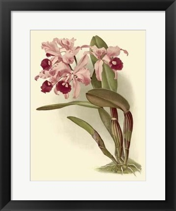 Framed Dramatic Orchid III Print