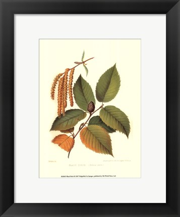 Framed Black Birch Print