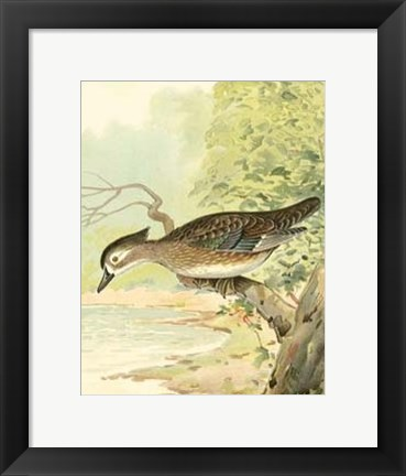 Framed Woodduck Female Print