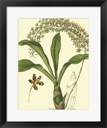 Framed Antique Orchid Study IV Print