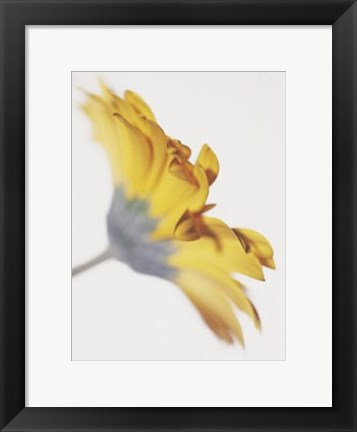 Framed Gerbera, Bright Yellow on White Print