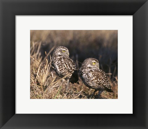 Framed Two Burrowing Owls Print